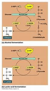 Lactose VS Alcohol fermentation | BiochemAholic