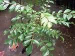 Herbe à Curry Toxique : caloupil cary feuilles de curry planter cultiver r colter ~ Melissatoandfro.com Idées de Décoration