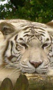 White Tiger, taken at Paradise Wildlife Park, Broxbourne ...