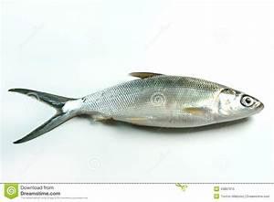 Milkfish (Chanos Chanos) Stock Photo - Image: 43887910