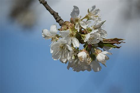 Free Images : tree nature branch plant white fruit
