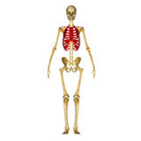 dolore gabbia toracica sinistra dolore di scheletro di gabbia toracica dell uomo