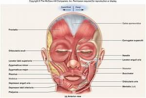 Anatomy  U0026 Physiology 1  U0026gt  Sayers  U0026gt  Flashcards  U0026gt  Ch  10    11
