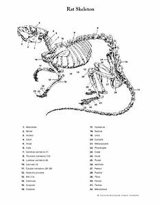 Rat Skeleton Worksheet For 9th