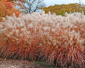 fall and winter care for ornamental grasses whav