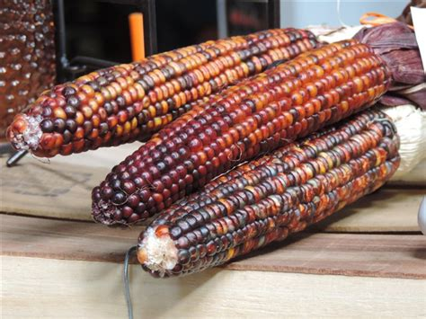 colored corn corn maize musikana jola makkai american sweet corn