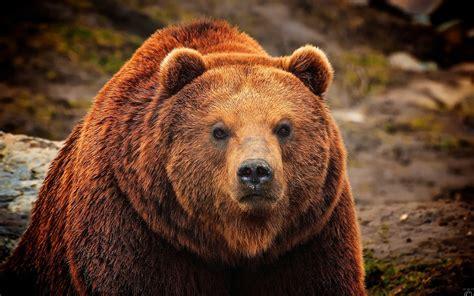 Запрос Медведь перенаправляется сюда; см. также другие значения. Запрос Медв