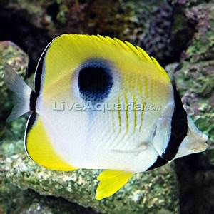 Saltwater Aquarium Fish for Marine Aquariums: Tear Drop ...