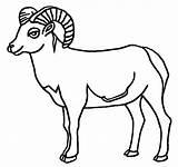Sheep Coloring Bighorn 612px 01kb Drawings sketch template