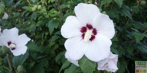 taille de l hibiscus en pot 28 images l hibiscus des