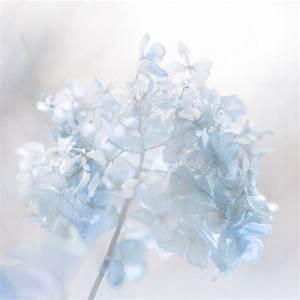 winter japan white canon flower blue bokeh color hydrangea ...
