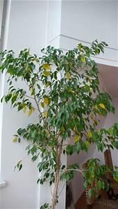 Ficus Benjamini Verliert Alle Blätter : ficus verliert bl tter ~ Lizthompson.info Haus und Dekorationen