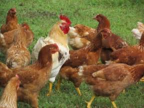 Chicken Roosters and Hens