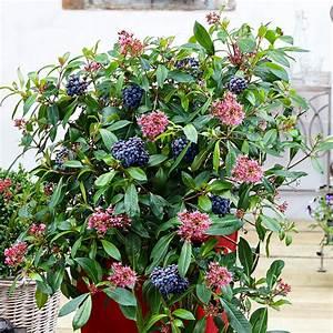 Immergrüne Winterharte Kübelpflanzen : mexikanische heidelbeere blue tini von g rtner p tschke ~ Michelbontemps.com Haus und Dekorationen