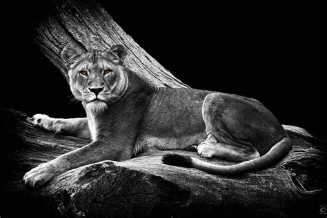 Tierbilder Schwarz Weiß by Big Cats Chm Photography