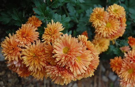 how do mums live top 28 can mums survive the flower of fall chrysanthemums how long do mums bloom reference