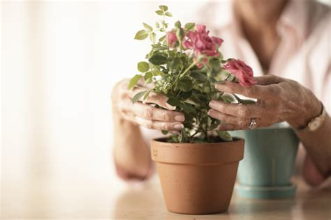comment planter un rosier en pot