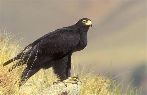 Raptors Birds South Africa