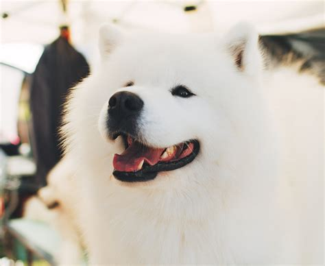 does samoyed shed a lot 11 hypoallergenic breeds altitude