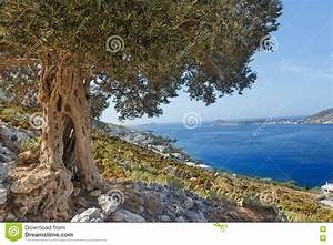 South European Landscape With Huge Ancient Olive Tree And ...