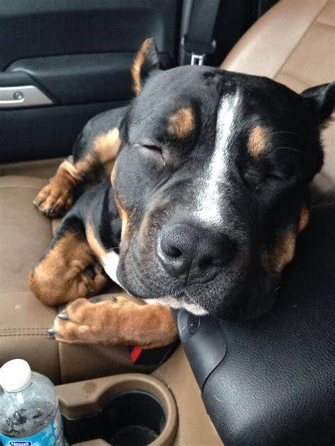 best 25 pitbull mix breeds ideas on