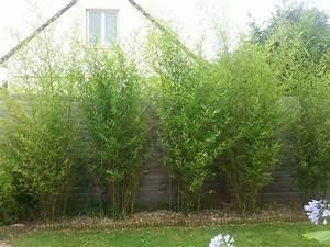 Haie Pas Cher Qui Pousse Vite : le bambou jardin topic unik page 15 loisirs ~ Premium-room.com Idées de Décoration