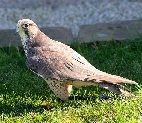 In Search Of The  Ee  Maltese Ee   Lanner Falcon Malta
