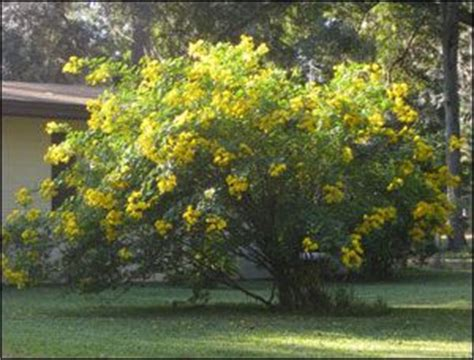 bright bush for landscaping very large cassia shrub covered in bright yellow flowers beware of invasive look alikes