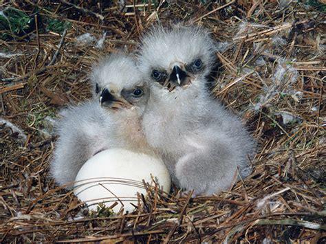 nesting season american eagle foundation