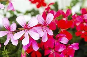 Balkonblumen Richtig Pflanzen : balkon die top 20 der balkonblumen bald wird 39 s bunt ~ Frokenaadalensverden.com Haus und Dekorationen