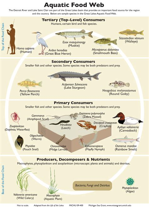 Food Chains And Webs Teaching Great Lakes Science