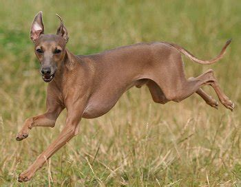 italian greyhound faq frequently asked questions