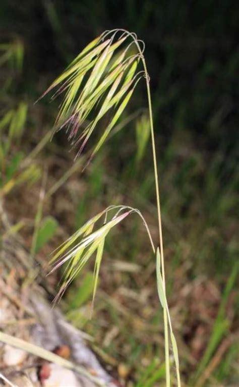 http://luirig.altervista.org/schedenam/fnam.php?taxon=Bromus+tectorum
