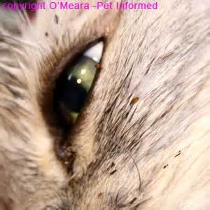 cat with fleas flea pictures what do fleas and flea infestations look like