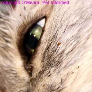 Flea Pictures - What do Fleas and Flea Infestations Look Like.