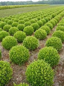 Ersatzpflanze Für Buchsbaum : gartenpflanzen in exklusiven formen pflanzen in ~ Michelbontemps.com Haus und Dekorationen