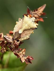 Schöne Bilder Kaufen : eine sch ne wanze foto bild natur tier insekt bilder auf fotocommunity ~ Orissabook.com Haus und Dekorationen