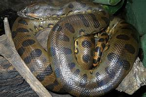 Green Anaconda Facts, Size, Weight, Habitat, Diet, Pictures