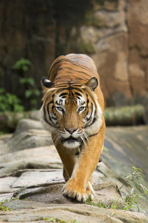 Tiger Walking Towards Camera Stock Photo Image Prey