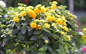 Plantes à Feuillage Persistant : plantes vivaces grimpantes feuillage persistant ~ Premium-room.com Idées de Décoration