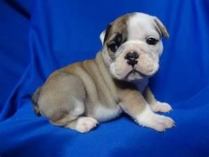 Bulldog | How to Take Care of Your Mini English Bulldog ...