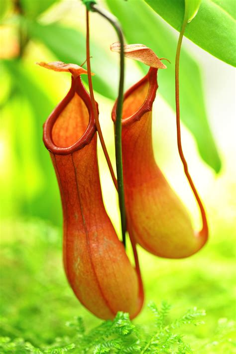 pitcher plant carnivorous plants in india the royale