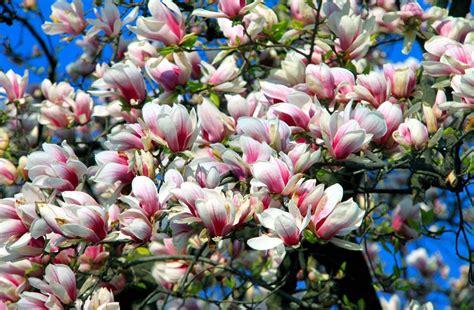 magnolia hd wallpapers