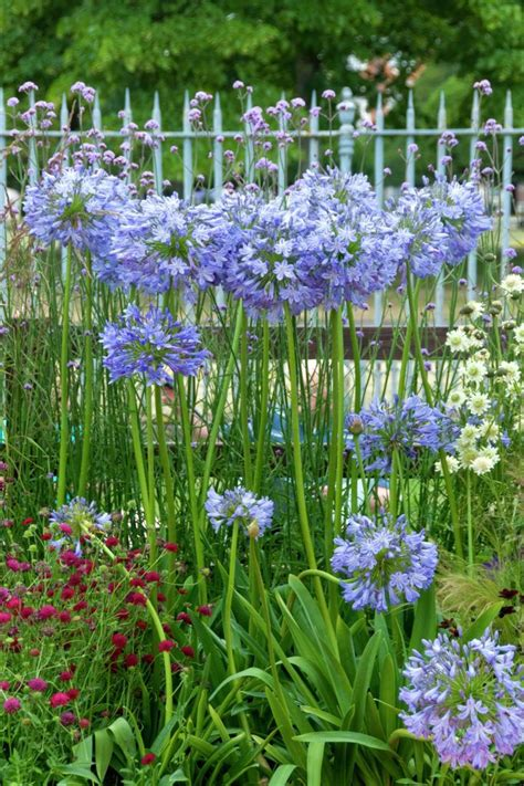 of the nile flower 25 best ideas about agapanthus africanus on pinterest agapanthus blue white flowers and