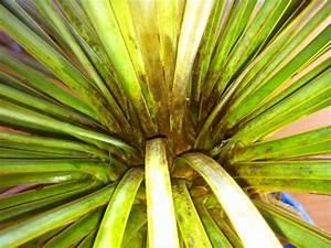 Yucca Palme Braune Blätter : braune spinnmilben bei yucca rostrata seite 1 ~ Lizthompson.info Haus und Dekorationen
