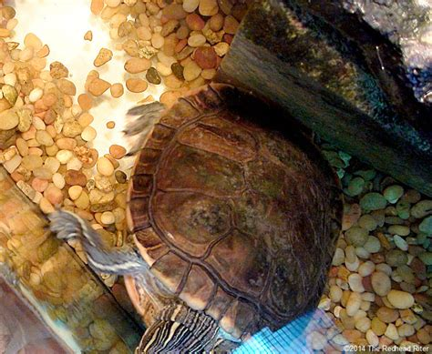 Turtle Shell Shedding Scutes by Turtle Has Cool Shaped Scutes