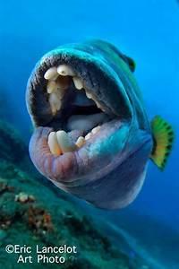Titan triggerfish | MonsterFishKeepers.com