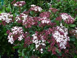 Arbuste À Feuillage Persistant : arbustes de grand d veloppement feuillage persistant ~ Melissatoandfro.com Idées de Décoration