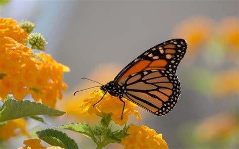 monarch butterfly  yellow lanthana desktop wallpaper