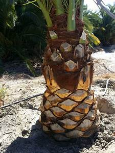 How Do You  U0026 39 Pineapple U0026 39  A Sylvester Palm U0026 39 S Trunk